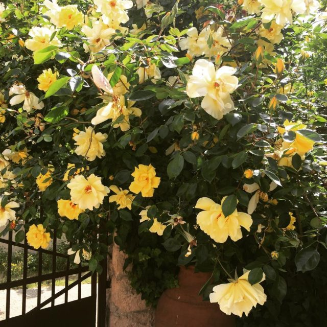 My yellow roses are in full bloom rosesofinstagram